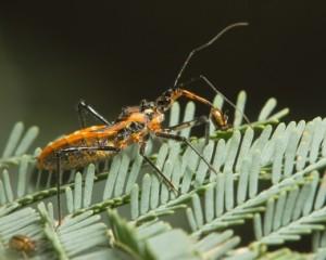 Клоп Gminatus australis с добычей жуком