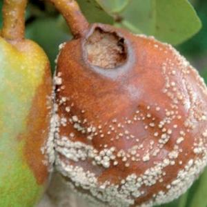 Монилиоз груши