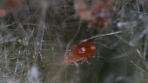 Фитосейулюс (Phytoseiulus)
