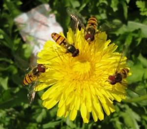Журчалки (Syrphidae)