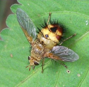 Тахины, ежемухи (Tachinidae)
