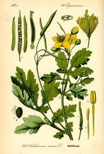 Чистотел (Ботаническое описание)