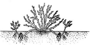 Размножение дуговыми отводками
