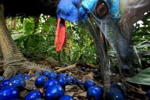 Родственник Эму - Казуар, тоже с удовольствием поедает плоды Квандонга