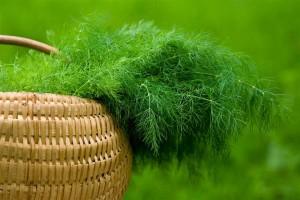 Сеем зелень и овощи летом (укроп)