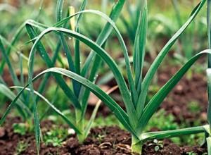 Сеем зелень и овощи летом (дайкон)