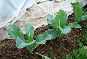 Сеем зелень и овощи летом (капуста)