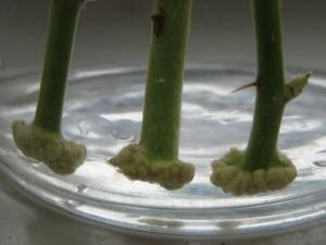 Укоренение роз в вермикулите и в воде
