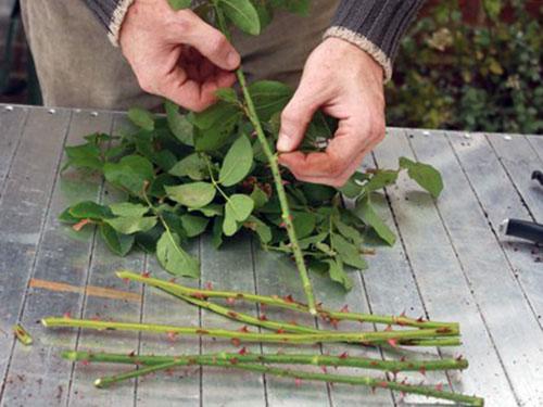 Различные методы размножения роз