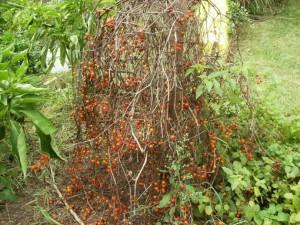 Многолетний томат