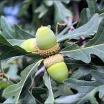Дуб белый (Quercus alba)