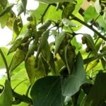 Фирмиана простая, или Фирмиана платанолистная, Стеркулия платанолистная, Китайское зонтичное дерево, Японское маковое дерево (Firmiana platanifolia, syn. F. simplex, Sterculia platanifolia)