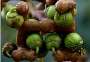 Конфетное дерево, или Говения (Ховения) сладкая, Восточное изюмное дерево (Hovenia dulcis)