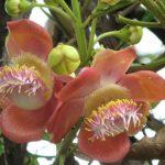 Красный Сандал, или Птерокарпус Сандаловый, Сандаловое Дерево (Pterocarpus santalinus)