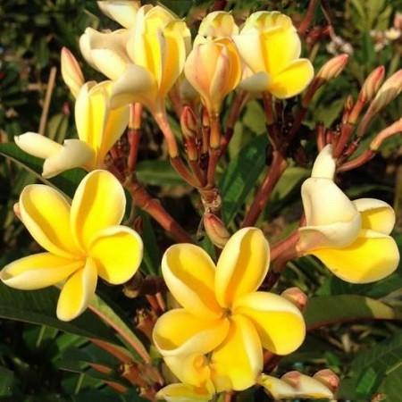 Плюмерия Gold Pleat (Plumeria)