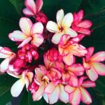 Плюмерия Beauty Idol (Plumeria)