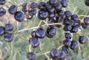 Черные ягоды годжи, Черный годжи, или Дереза русская, волчья ягода, лиций русский, Black Goji (Lycium ruthenicum murr)