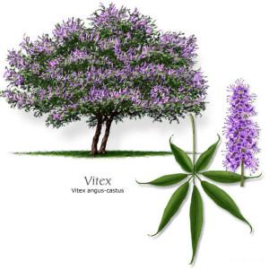 Витекс священный, или Витекс обыкновенный, Прутняк обыкновенный, Авраамово дерево, Монашеский перец (Vitex agnus-castus)