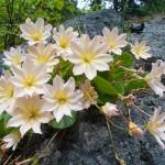 Левизия (Lewisia cotyledon)