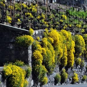 """Алиссум горный """"Золотко"""" (Alyssum montanum)"""
