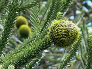 Араукария (Araucaria)