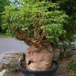 Баобаб Африканский, или Адансония Пальчатая (Adansonia Digitata)