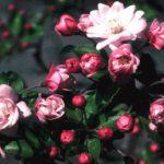 Яблоня замечательная (Malus spectabilis)