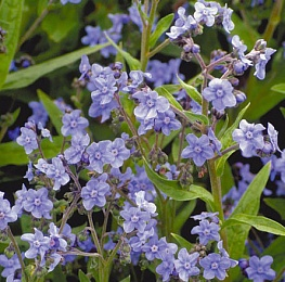 Чернокорень приятный, или Чернокорень лекарственный, Циноглоссум (Cynoglossum officinale)