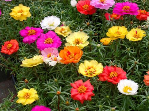 """Портулак крупноцветковый """"Мексиканка"""" (Portulaca grandiflora)"""