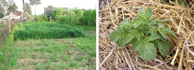Выращивание картофеля в овсе