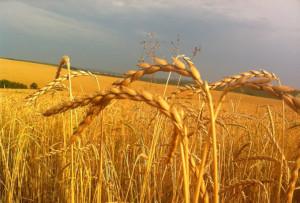 Полба, или полбяная пшеница
