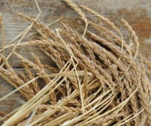 Пшеница однозернянка, также зандури