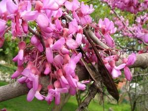 Церцис европейский, или Багрянник европейский, Иудино дерево (Cercis siliquastrum)