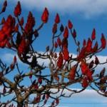 Сумах оленерогий, или Сумах пушистый, Уксусное дерево, Сумах коротковолосый, Сумах уксусный (Rhus typhina)
