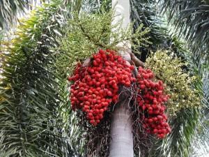 Пальма Лисий хвост, или Водиетия (Wodyetia, Foxtail palm)