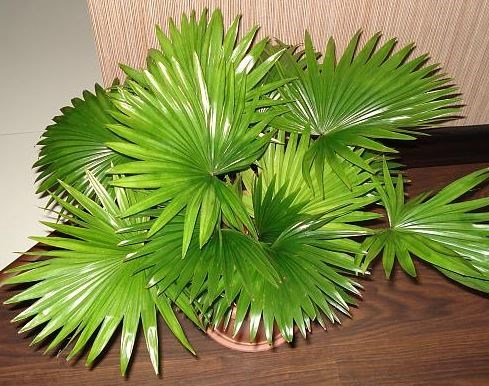 Ливистона южная, или австралийская веерная пальма (Livistona australis)
