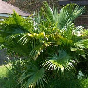 Ливистона китайская, или латания (Livistona australis)