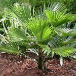 Трахикарпус Вагнера (Trachycarpus wagnerianus)