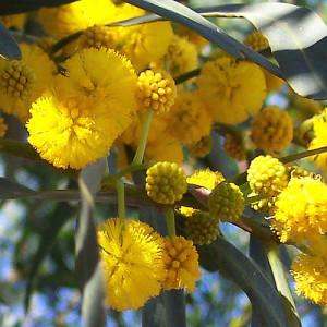 Акация Фарнеза (Acacia farnesiana)