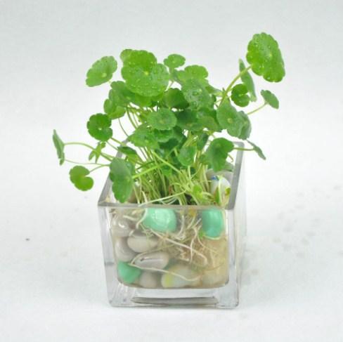 Centella asiatica выращивание 38