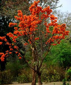 Бутея Односемянная, или Бутея великолепная, Лесное пламя, Палаш (Butea monosperma)