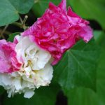 Гибискус Изменчивый (Hibiscus Mutabilis)