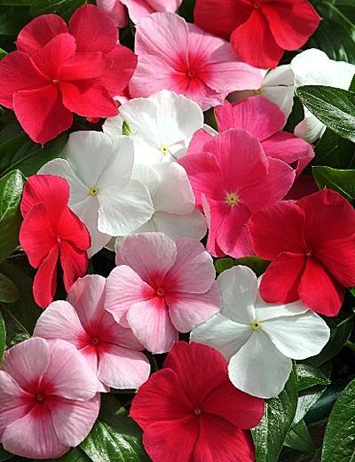 Катарантус Кураж (Catharаnthus rоseus, Vinca rosea)