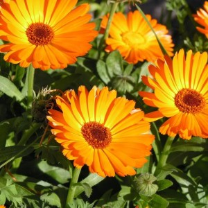 Календула лекарственная, или Ноготки лекарственные (Calendula officinalis)
