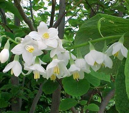 Стиракс ароматный, Стиракс Обассия (Styrax obassia)
