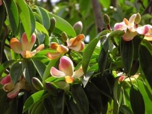 Манглиетия замечательная, Дерево-Лотос (Manglietia insignis)