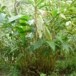 Кардамон настоящий, или Элетария (Elettaria cardamomum)