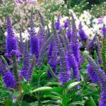 Вероника длиннолистная (Veronica longifolia)
