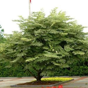 Аралия маньчжурская, или Аралия высокая, шип-дерево, чертово дерево (Aralia elata)