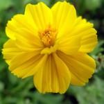 Космея серно-жёлтая, или космос, красотка (Cosmos sulphureus)
